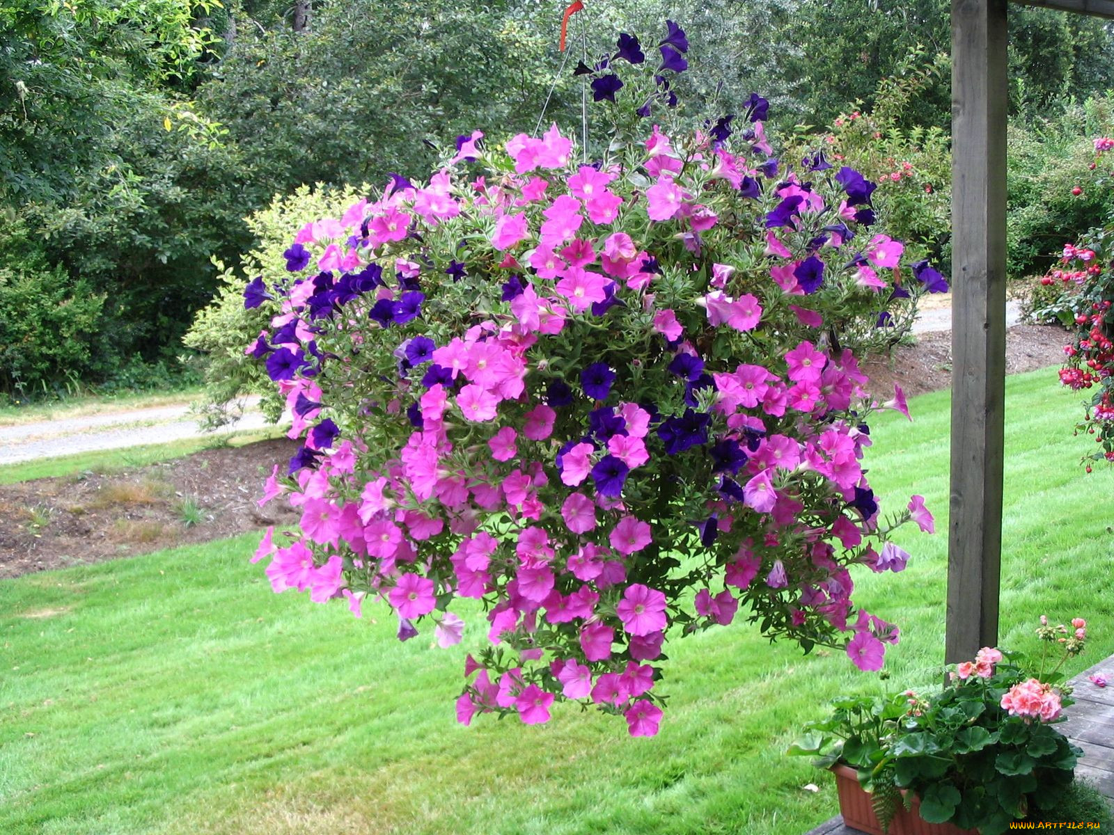 Ампельные цветы и с названием